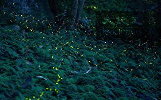 【翎毛片羽的野鳥札記】春夏之夜 與螢火蟲有約
