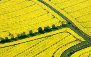 油菜籽出口遭中共报复 加国为农民解困