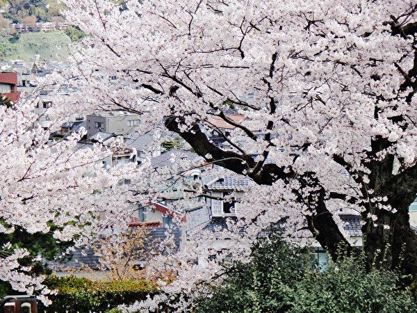 日本金泽兼六园樱花烂漫。(蓝海/大纪元)
