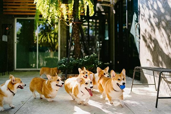 "(Courtesy of <a href=""https://www.facebook.com/corgiinthegarden/"" target=""_blank"" rel=""noopener noreferrer"">Corgi in the Garden</a>)"