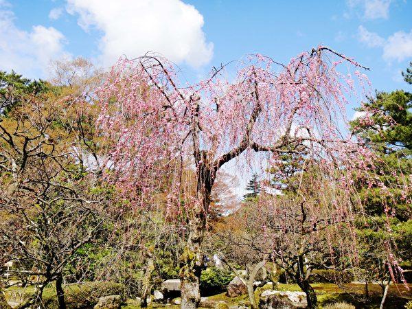 日本金泽难得一见的垂樱。(蓝海/大纪元)