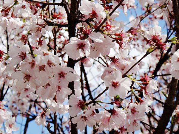 日本金泽兼六园的美丽樱花。(蓝海/大纪元)