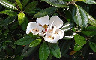 新詩:窗下的木蓮花