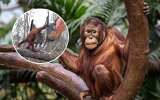 紅毛猩猩與雨林示意圖。(公有領域/大紀元合成)
