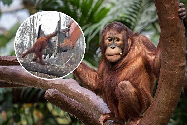 红毛猩猩与雨林示意图。(公有领域/大纪元合成)
