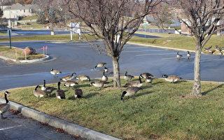 這陣勢見過嗎?加拿大鵝啄你沒商量