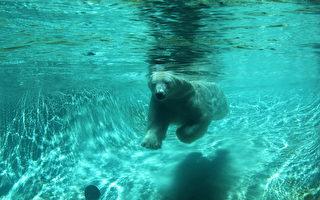 等黑熊游泳尽兴 卑诗渡轮推迟启航