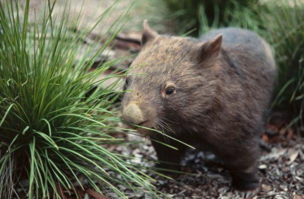 澳洲袋熊性喜獨居,攝像頭卻拍到牠和其它兩種動物「分享」洞穴的奇特景觀。示意圖。(Wombat Discovery Tours提供)