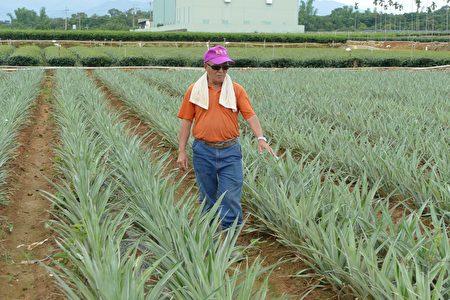 名間農友陳明俊介紹鳳梨的栽培。