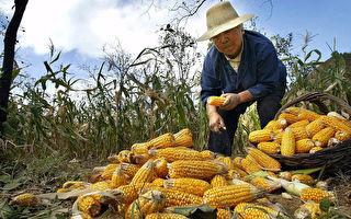 猪瘟效应扩大 大陆玉米需求急降 价格暴跌