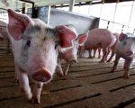 猪瘟肆虐 大陆母猪死亡量恐达官方数字两倍
