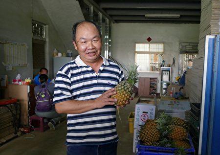 名間農友陳建宏教消費者挑選優質金鑽鳳梨。