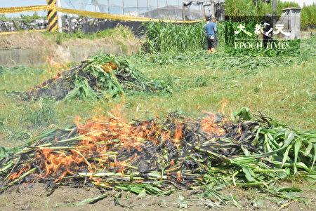 彰化县启动秋行军虫灾害紧急应变措施 火攻焚烧。