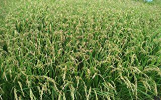 水稻空包弹 初步勘查未达天然灾害救助标准
