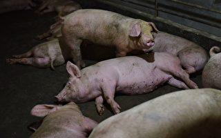 嚴防豬瘟 意大利截獲銷毀9.5噸中國豬肉
