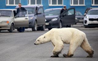俄北极熊迷路 南行几百公里到工业城找食物