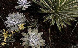 圖為多肉植物。(Justin Sullivan/Getty Images)