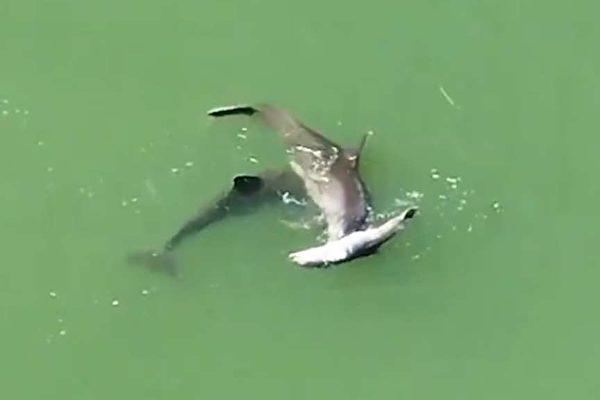 有隻海豚始終和哀傷的母海豚待在一起,像是在安慰牠。(See Through Canoe推特視頻截圖)