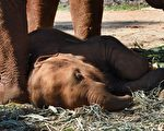 近日,一头幼象随妈妈在泰国芭堤雅景点往返驮运游客时,因疲惫不堪瘫倒在地。示意图:卧地睡着的小象。(公有领域)