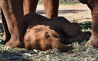 泰景点母象驮客 幼象拴绳同行累瘫引关注
