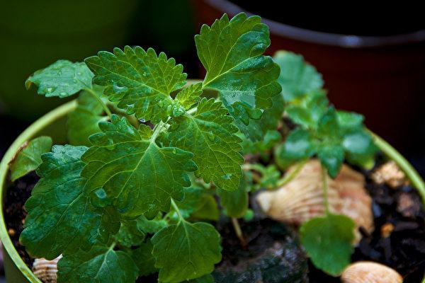 些植物有特殊的香氣,能令蚊蟲避而遠之。圖為貓薄荷。(Shutterstock)