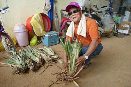 名間農友陳明俊介紹鳳梨幼苗的選擇。