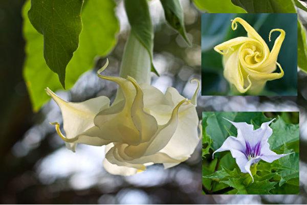 北美常見有毒植物之:木本曼陀羅,沙漠曼陀羅花(右上),草本曼陀羅(右下)。