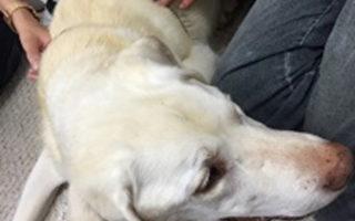黄雪子通过针灸、中医调理,成功治愈了等死的动物犬。(黄雪子医师提供)