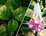 在北美居住或旅游至此,一些有毒植物一定要注意。左:毒栎(毒橡木),右:曼陀罗类的大花曼陀罗(天使喇叭)。(Getty Images,公有领域/大纪元合成)