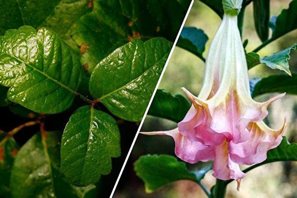 在北美居住或旅遊至此,一些有毒植物一定要注意。左:毒櫟(毒橡木),右:曼陀羅類的大花曼陀羅(天使喇叭)。(Getty Images,公有領域/大紀元合成)