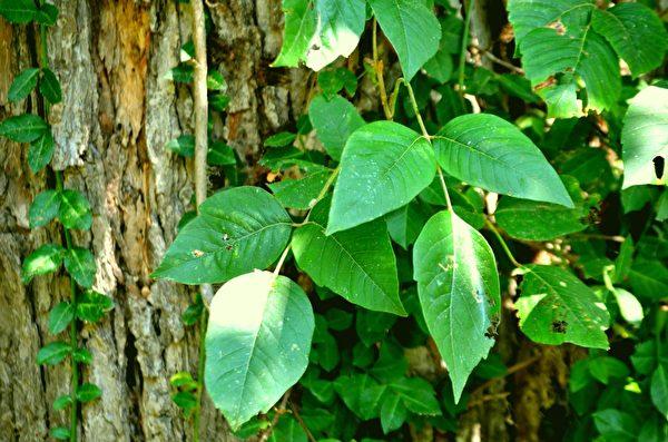 北美常見有毒植物之:三葉一簇的毒藤(毒漆藤)。(公有領域)