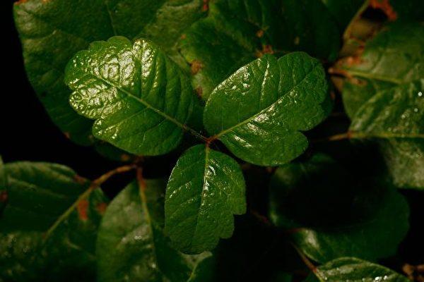 北美常見有毒植物之:美國加州的毒櫟(毒橡木)。 (David McNew/Getty Images)
