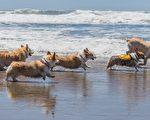 海灘上奔跑的柯基犬。(Trevor Fairbank/shutterstock)