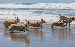 萌爆了!上千只可爱柯基犬涌进旧金山沙滩