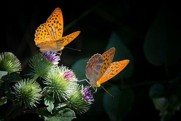 大自然真是奥妙,在空中轻盈飞舞的蝴蝶,也可能携带着一个来自逝去亲人的无声问候呢。(Pixabay)