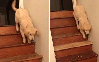 小金毛犬下楼三脚跳 背后原因超暖心