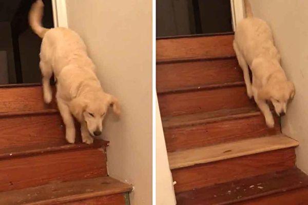 原来,小金毛是在模仿它最爱的狗哥。(Twitter: Karisa Maxwell授权视频截图/大纪元合成)