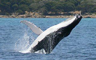 在西澳南岸奧爾巴尼邂逅野生鯨魚