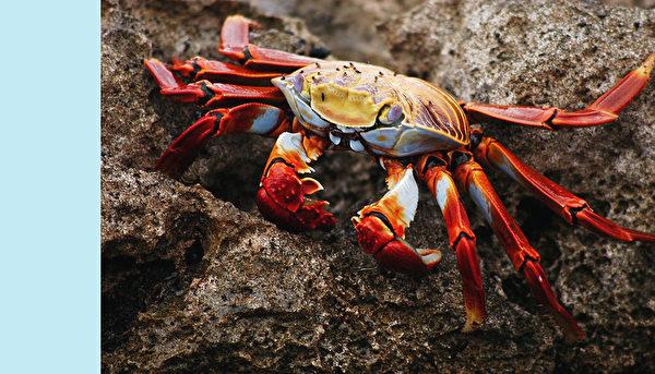螃蟹。(公有領域)