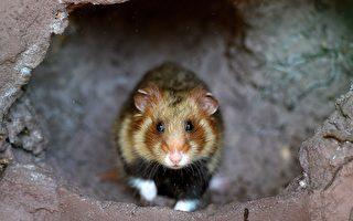 荷蘭出現異象 數百隻老鼠集體死亡
