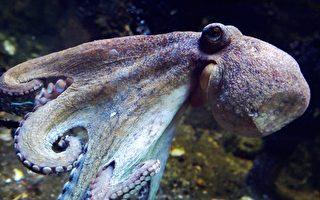 爆紅視頻:漁船上的貝殼冒出章魚 逃之夭夭