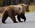 不少人曾拍下這隻大熊和同伴向人類揮手的影片。狗熊示意圖。(Shutterstock)