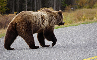 她在車裡向大棕熊揮手 牠禮貌回應被讚爆
