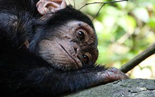 幼猩在黑市上售價不菲,動物園也只要幼猩,造成很多母子分離的悲劇。(公有領域)