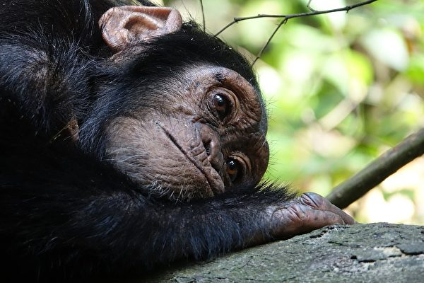 幼猩在黑市上售价不菲,动物园也只要幼猩,造成很多母子分离的悲剧。(公有领域)