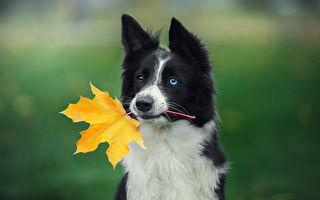 几年如一日 狗狗每天叼落叶来食堂买饼干