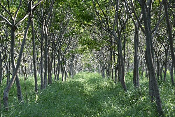 台中後里的無患子樹林,像極了宮崎駿動畫片中的「龍貓隧道」。(yuanj/shutterstock)