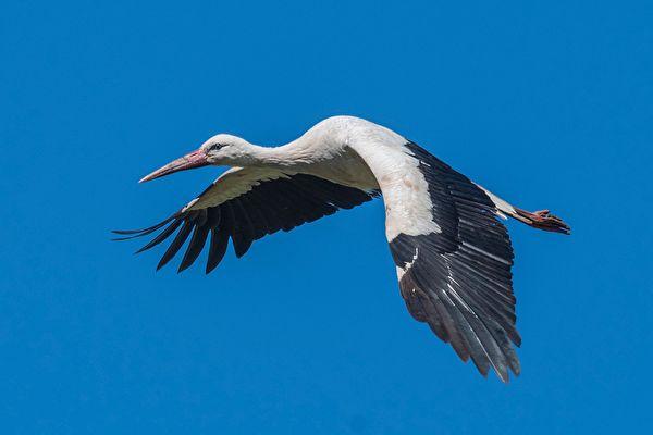 科雷派坦(Klepetan)飛到克羅地亞,與受傷的母鸛鳥馬萊娜(Malena)團聚。示意圖。(Carl Allen/Shutterstock)