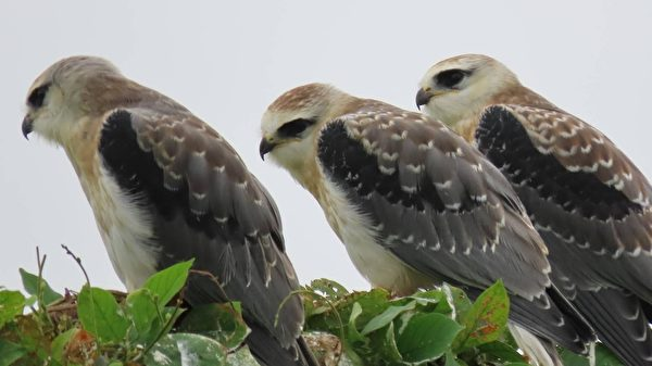 组图:猛禽黑翅鸢筑巢育雏 3幼鸟吸睛引人潮