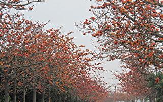 管理拾穗:木棉树一场亮丽的演出
